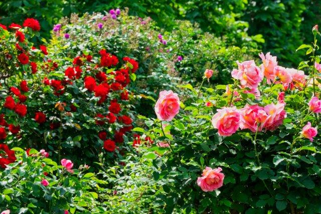 компоновка роз