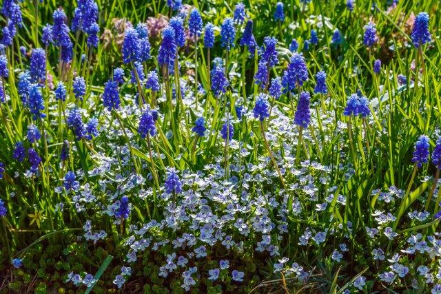синий цветник