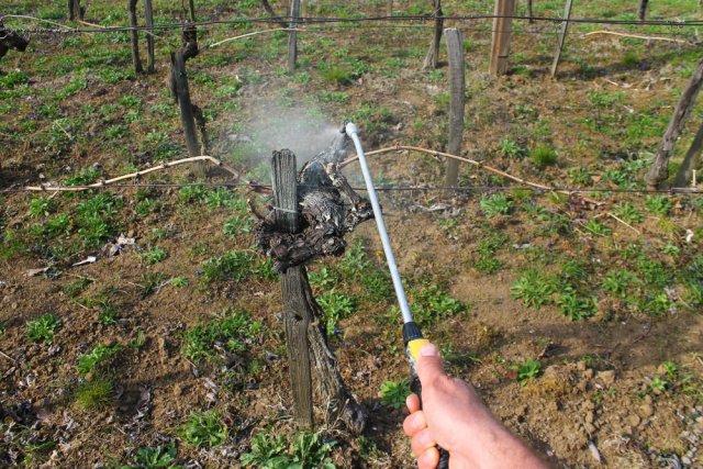 Чем обработать виноград против болезней и вредителей