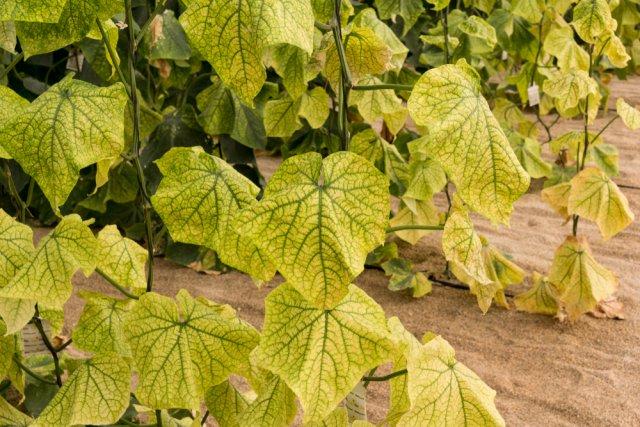Хлороз листьев огурцов фото и лечение