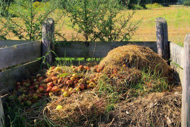 Яблоки в компосте