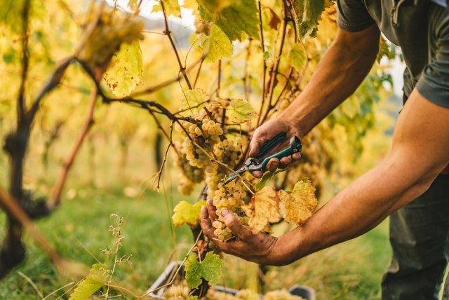 Как правильно собирать виноград