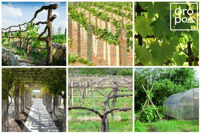 Коллаж - виноград на шпалере