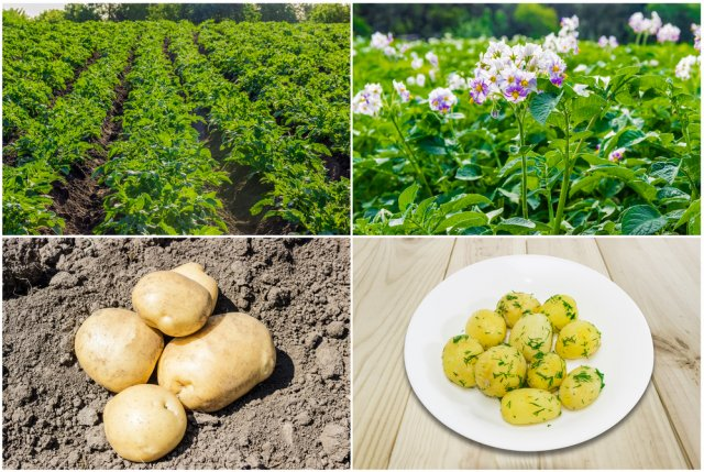 Field with rows of planted young potatoes, potato field during the flowering period, Several potatoes on the field on a background of the soil and White dish with boiled young potatoes with butter, sprinkle with chopped dill on a wooden surface.