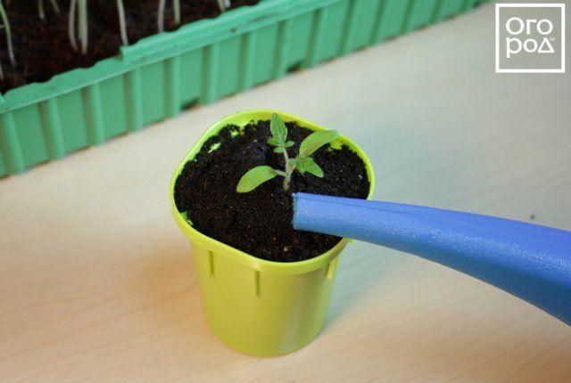 Полив сеянца помидора