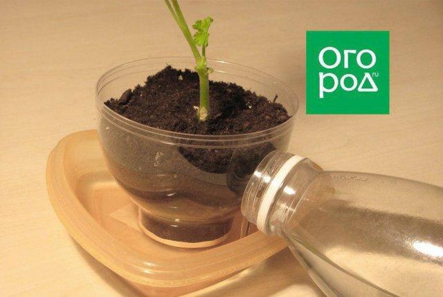 полив черенка пеларгонии