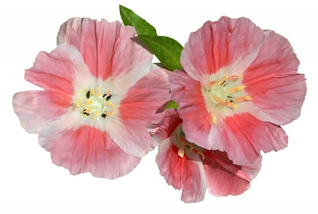 Three delicate pink flowers close-up isolated on white background