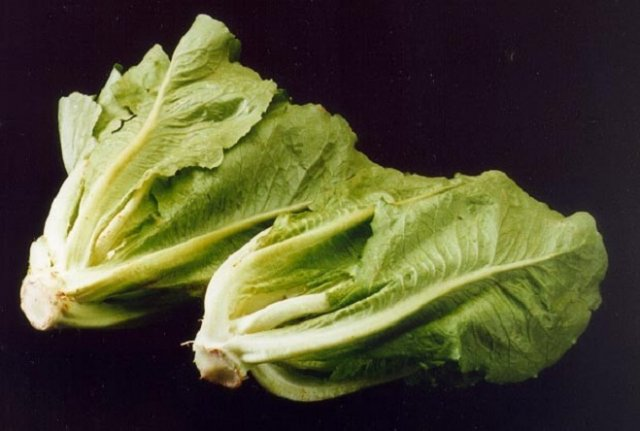 салат латук виды сорта