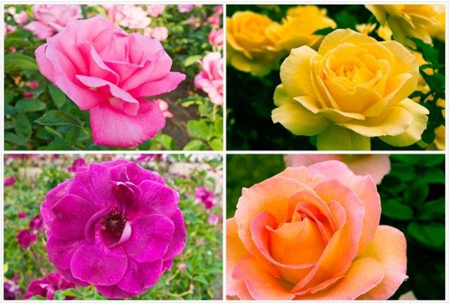 клумба из желтых и лиловых роз