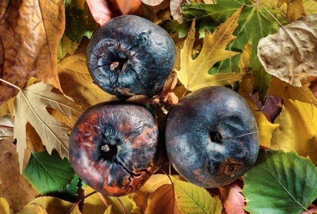 чернеют яблоки при хранении