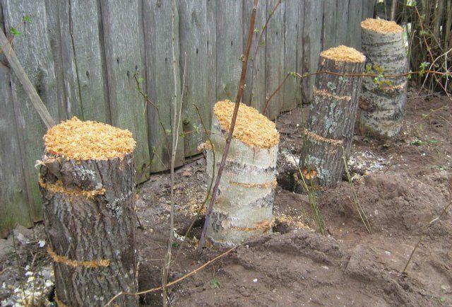 Выращивание вёшенок на даче 884