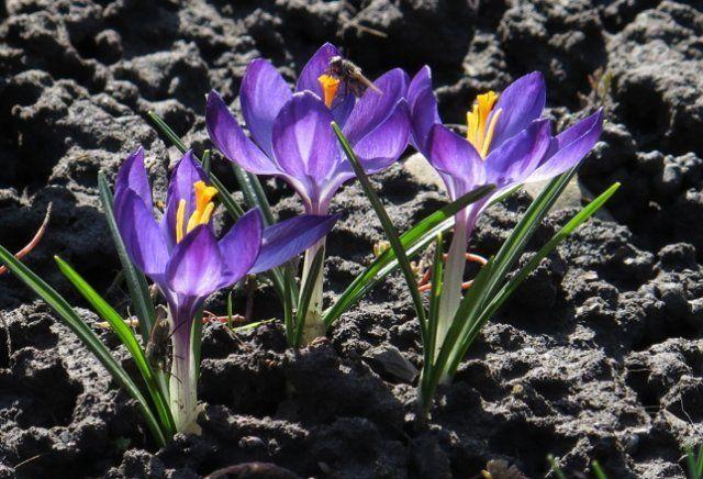 синие крокусы в земле, первоцветы