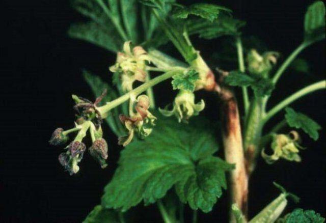 Глоксиния махровая фото цветов чём звените