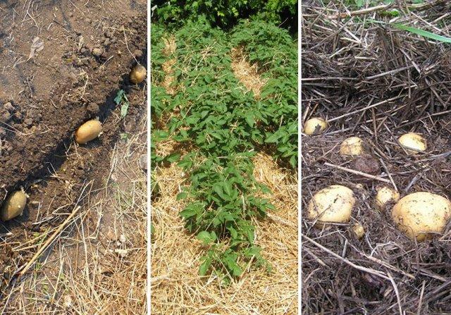 Технология выращивания картофеля в соломе