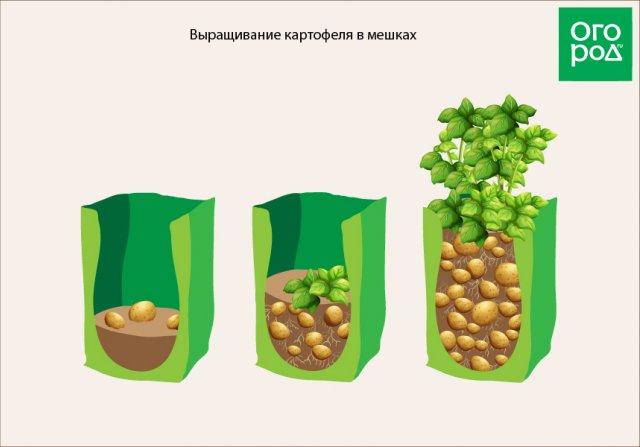 Схема выращивания картофеля в мешках