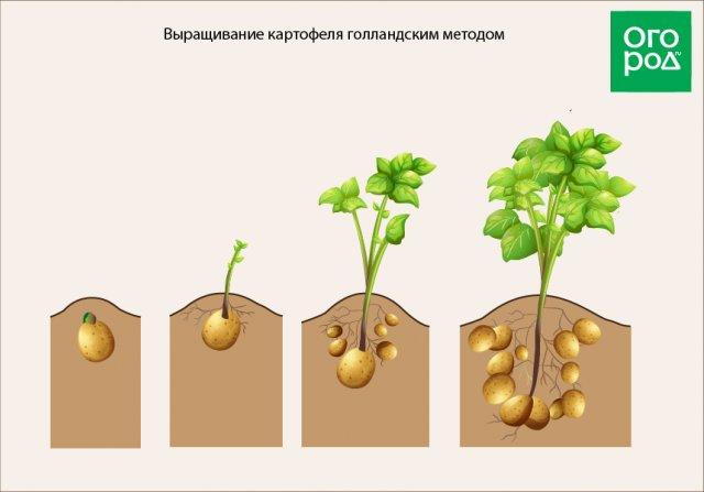 Как выращивать картофель голландским методом