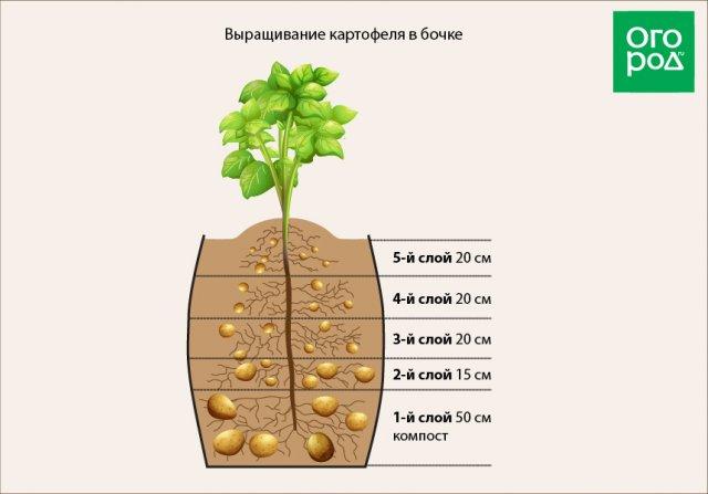 Схема выращивания картофеля в бочке