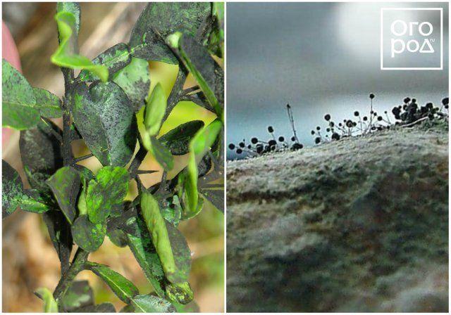 сажистый грибок, как бороться с белокрылкой в теплице