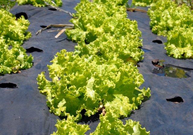 салат латук листовой виды сорта