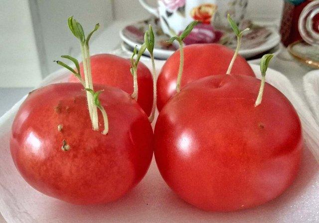 семена помидор сильно проросли