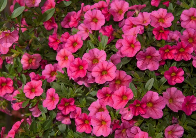Calibrachoa, Mini Petunia, flower masses in pink