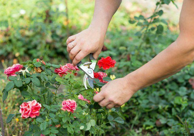 Обрезка соцветий розы