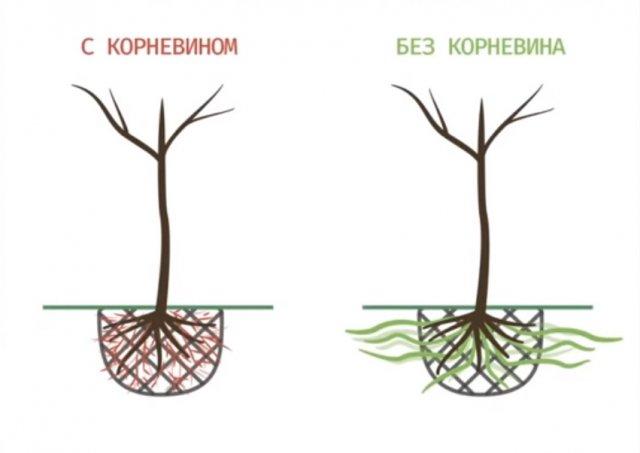 корневин при посадке дерева
