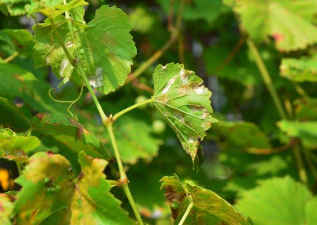 Лист винограда, поврежденный оидиумом