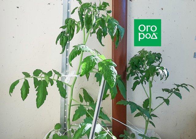 У томатов скручиваются верхние листья