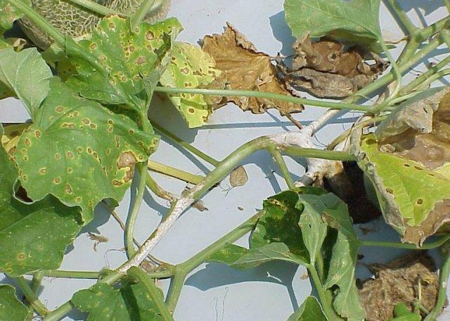 Альтернариоз на листьях огурца