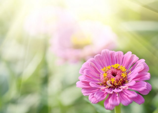 Summer Sunlight Scene: Aster or Dahlia Flowers on Green Grass Background