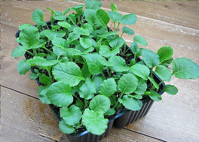 Выращивание примулы