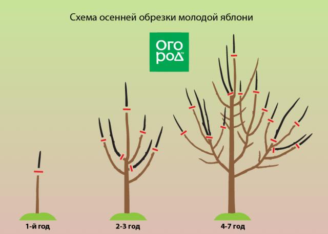 Схема обрезки молодой яблони