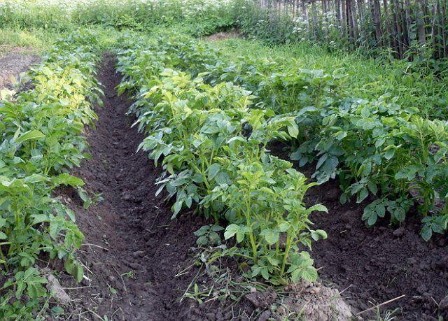 Картофель на гребнях