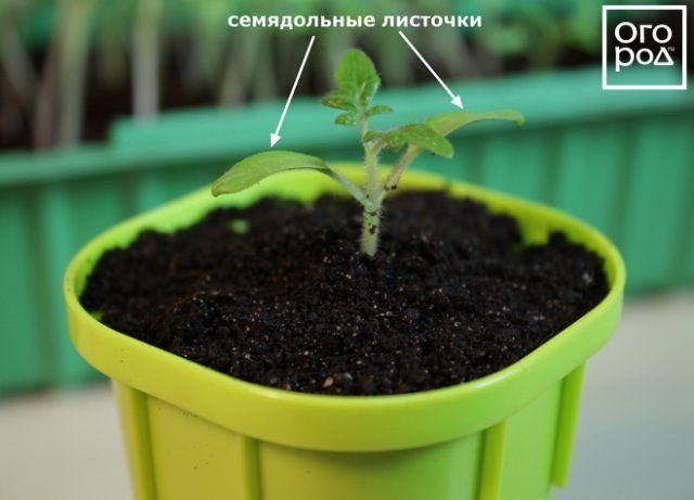 Пересаженный сеянец томата