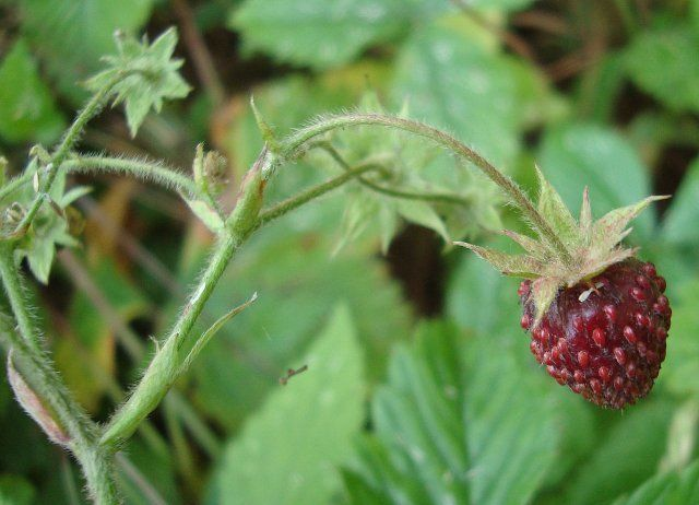 Земляника мускатная (Fragaria moschata)