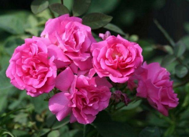 Роза Зефирин Дроухин