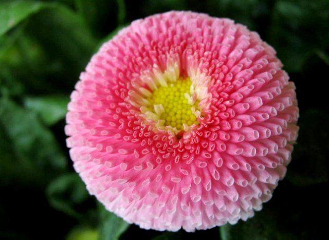Маргаритки цветов и уход 12