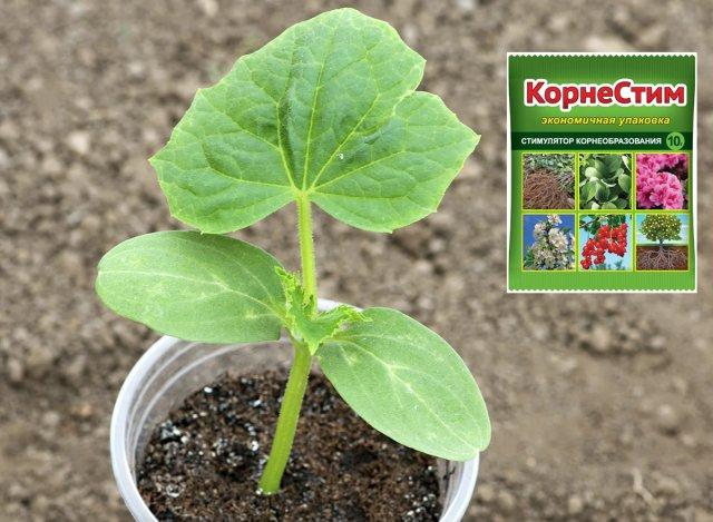 выращивание рассады огурцов дома