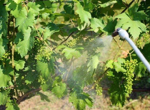 Чем подкормить виноград