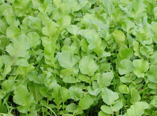 Редька масличная – один из сидератов, который защитит огород от сорняков