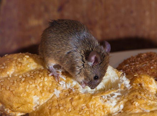 Какие болезни переносят мыши и крысы