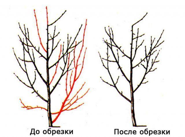 Как обрезать сливу весной схема фото 774