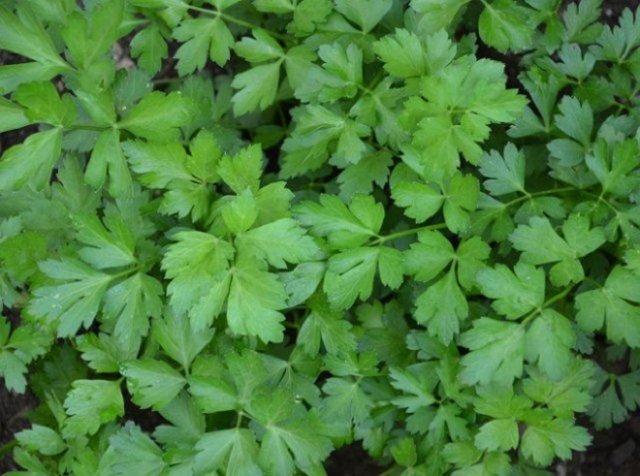огород на балконе скороспелые овощи зелень