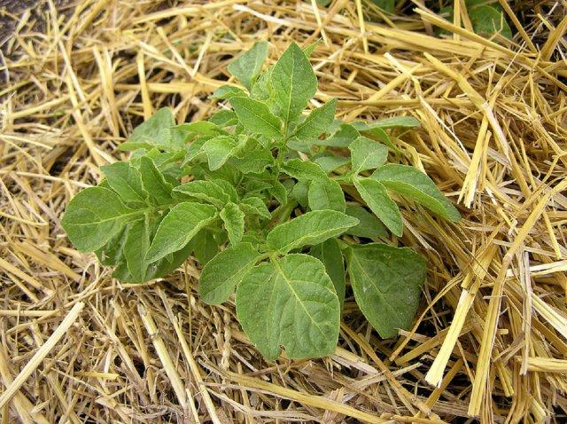 Картофельный куст в соломе
