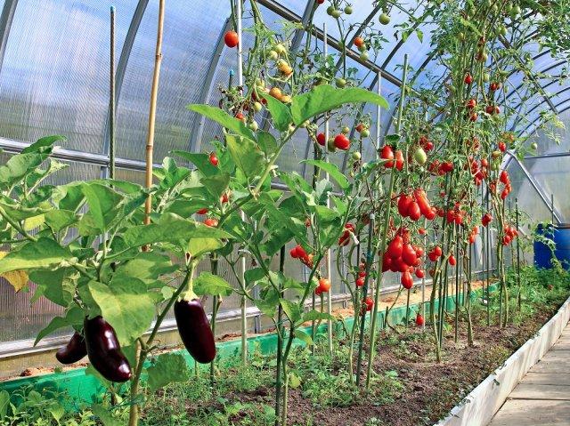 Можно ли сажать баклажаны с помидорами в теплице 919