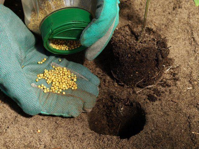 Фосфор необходим для формирования цветочных почек, последующего развития завязей и плодов