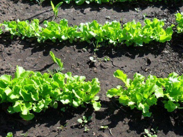 посадки салата