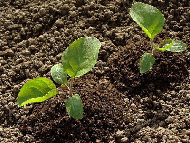 Рыхление почвы вокруг рассады баклажана