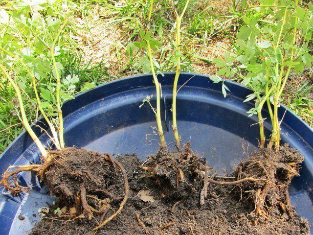 Каланхоэ Каландива: уход за растением 99